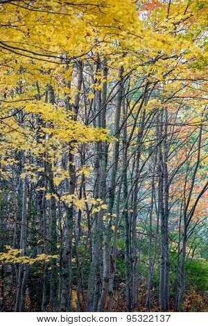 Fall coloration of deciduous trees in the forest.