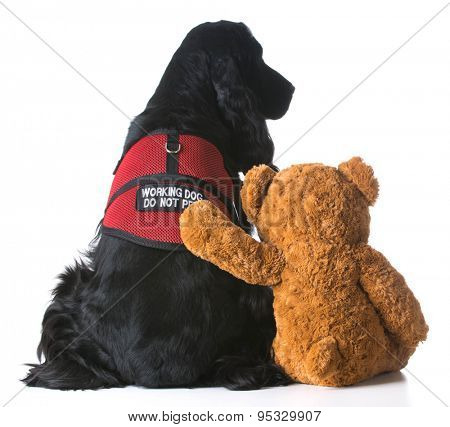 therapy dog sitting beside a teddy bear on white background