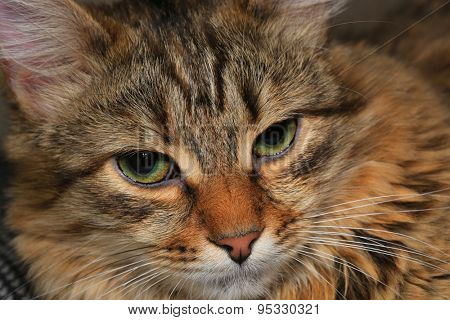 Cat's face closeup photo