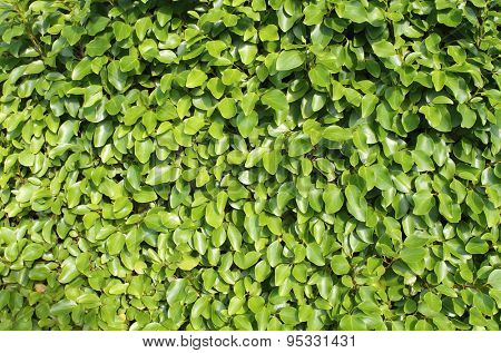 Background of fresh green leaves on a hedge in summer.