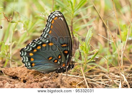 Red-Spotted Purple Admiral feeding on minerals on the ground