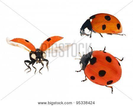 set of three ladybugs isolated on white background