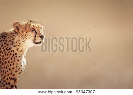 Cheetah portrait  - Kalahari desert - South Africa