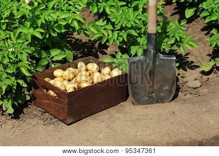 New potatoes in wooden crate near shovel over garden background