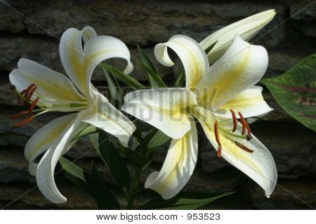 White Lily1