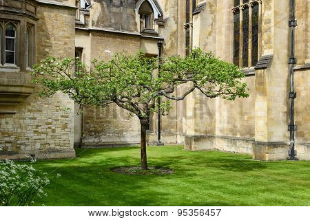 CAMBRIDGE, ENGLAND - MAY 13: Lone Chestnut Tree in Court at Trinity College, University of Cambridge, England - Popular Tourist Attraction and Rumored to be Isaac Newton Apple Tree on May 13, 2015