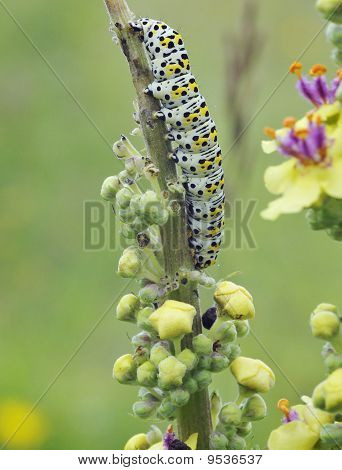 Mullein Moth Caterpiller
