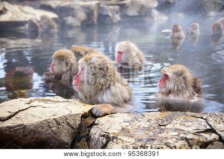 Japanese Snow Monkeys in Nagano.