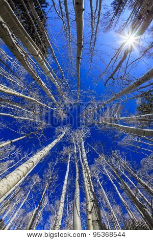Aspen forest near Flagstaff, Arizona