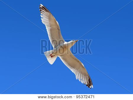 Seagull flying overhead in blue sky.