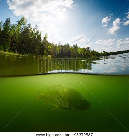 Split shot of the freshwater pond with forest above the surface and fish (Carp of the family of Cyprinidae) underwater