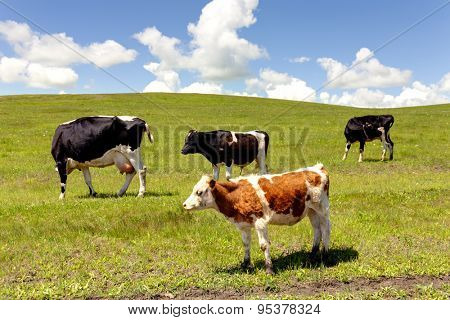 Grazing cows in summer pasture