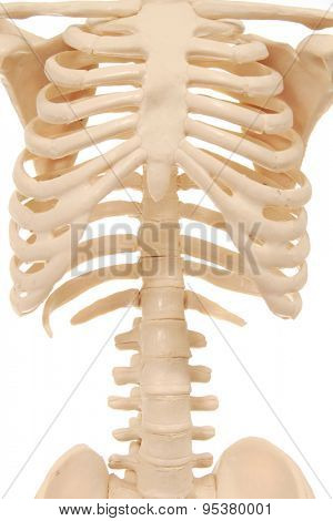 Rib cage of a skeleton