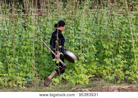 MAI CHAU, VIETNAM, DECEMBER 20, 2014 : A woman farmer is working in the bean vegetable garden, holding a recipient and a pickaxe in the village of Mai Chau, Vietnam