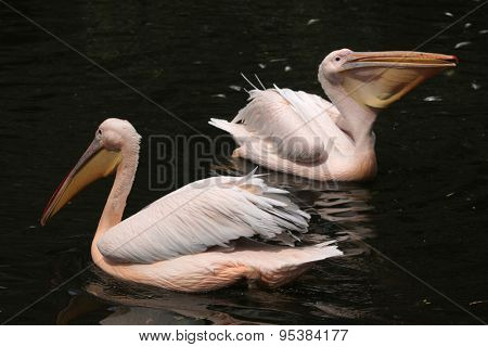 Great white pelican (Pelecanus onocrotalus), also known as the rosy pelican. Wildlife animals.