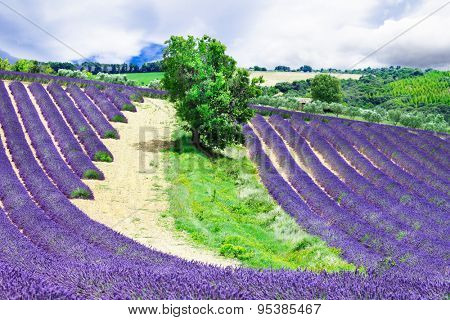 blooming fields of lavander in Provence, France