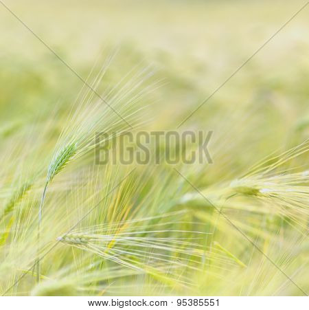 Wheat field in summer time