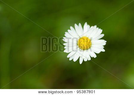 Daisy flower on a dark-green lawn background, shallow focus