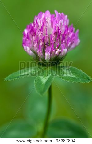 Purple clover flowerhead on a green background, shallow focus