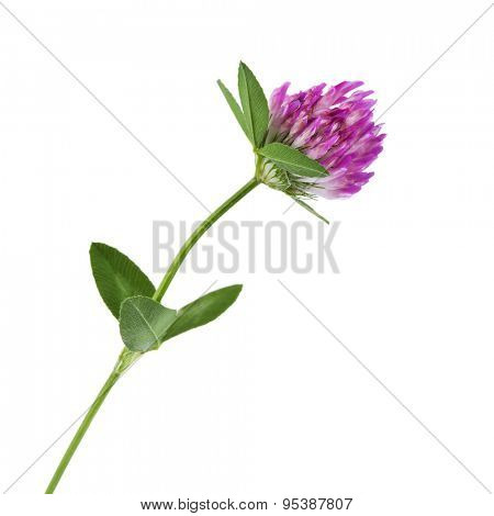 Red clover trifolium pratense on white background