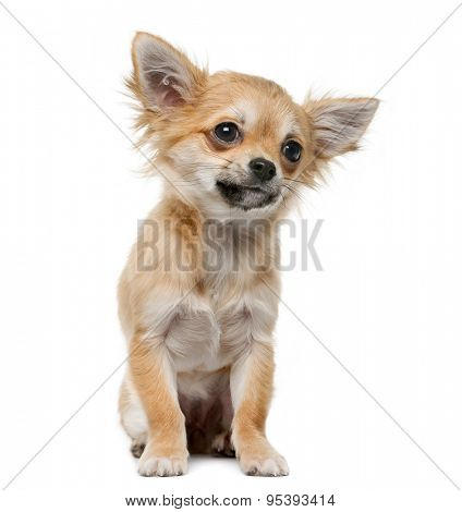 Chihuahua puppy (4 months old) in front of a white background