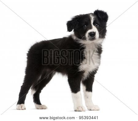 Border Collie (2 months old) standing in front of a white background