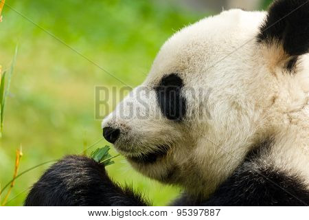 Panda eating bamboo close up