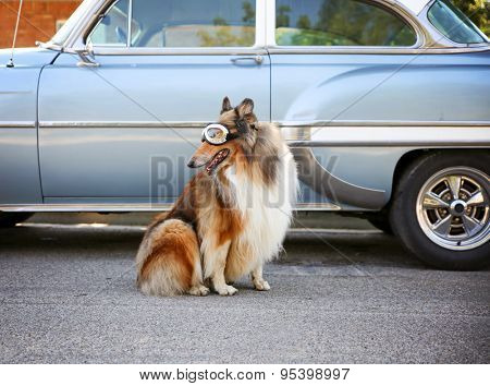 a collie posing for the camera in front of a classic car during a hot summer day with goggles on