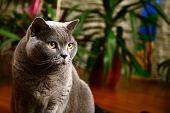 stock photo of portrait british shorthair cat  - Portrait photo of a british blue cat with amber eyes - JPG