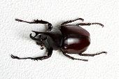 stock photo of rhino  - Rhinoceros beetle - JPG