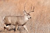 stock photo of mule deer  - Mule deer buck walking through meadow in New Mexico - JPG