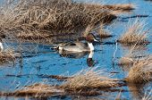 picture of pintail  - Pintail swimming in a marsh in New Mexico - JPG