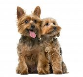 picture of yorkshire terrier  - Yorkshire terrier in front of a white background - JPG