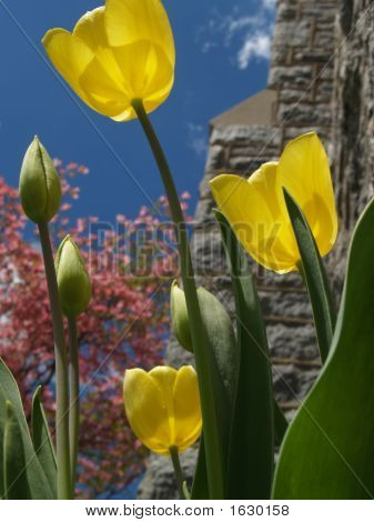 Yellow Tulips & Buds From Below, Back-Lit