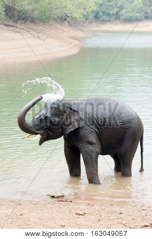 Bathing time for elephant in a lake with gadman at Kottoor Kappukadu Elephant Rehabilitation Centre Kerala India