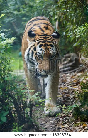 Frontal View Of A Amur Tiger In The Forest
