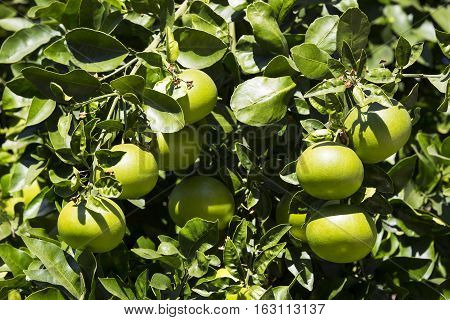 Orange tree with fruits ripening in the garden
