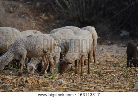small flock of sheep (lambs, rams and ewes) grazing.