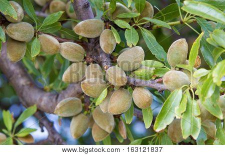 Green almonds ripening on an almond tree