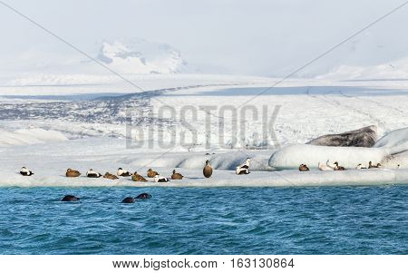 Three seals swimming by a group of eider ducks on floating iceberg at the base of the jolkulsarlon glacier, Iceland
