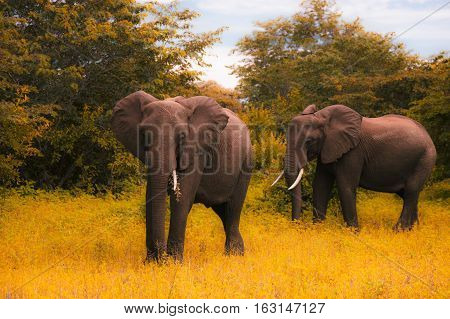 Tw  Big Elephants Walks And Grazes In The South African Bushes.