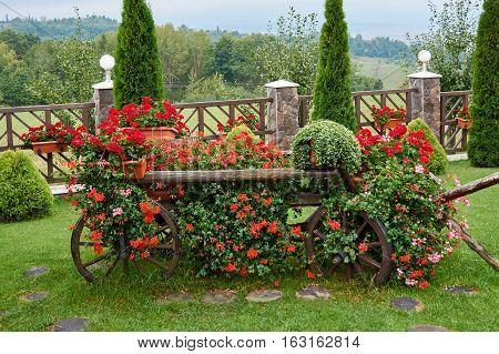 Red pelargonium. Flower bed in the cart.