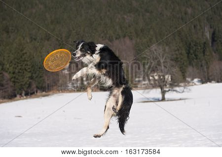 Jumping Border Collie trying to catch a toy in the air