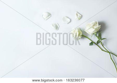 Fresh White Rose Flower On White Background, Background Copy Space