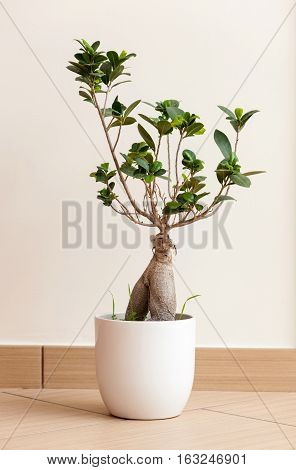 Bonsai ginseng or ficus retusa also known as banyan or chinese fig tree