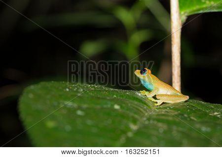 Green Bright-eyed Frog,  Andasibe Madagascar