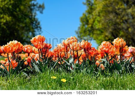 A magical landscape with blue sky over tulip field.  Tulips field close up. Tulips in botanical garden. Beautiful tulips background. Colorful tulips in spring. Tulips Seasonal flowers