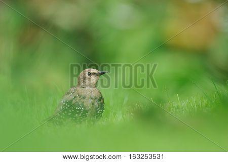 Juvenile Common Starling. Juvenile European Starling. Juvenile bird. Young bird.