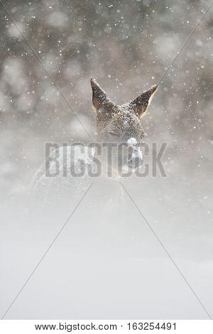 Roe deer in the snowstorm. Roe deer on snow. Roe deer in winter.