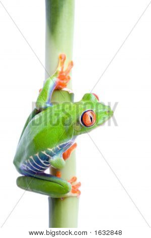 Frog On Bamboo